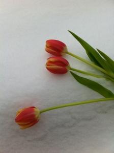 Tulpes = pavasaris