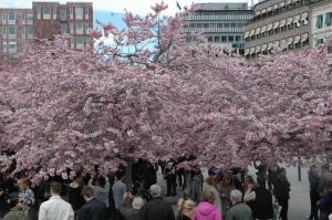 Stokholmas centrā zied japāņu ķirši. Burvīgais brīdis ir klāt.