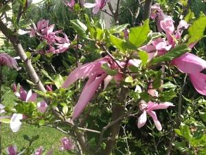 Mana magnolija