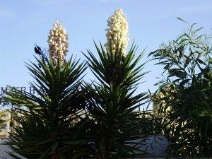 Palmu ziedi 2012. 21.06