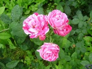 Piektidenas, 13. jūlija roze. Mazliet apvainojusies