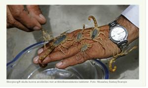 Zelta skorpions.