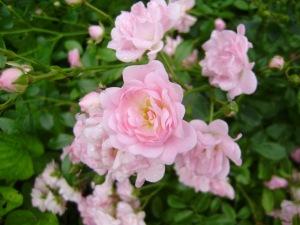 Dārza rozes, 2012. 5. augusts