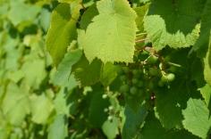 Rundāles vīnogas