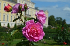 Rundāles roze