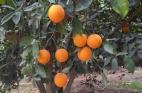 Laipns apelsīnkoks