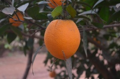 Apelsīni kā eksporta kronis