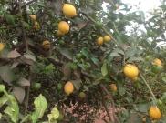 Citronkoks