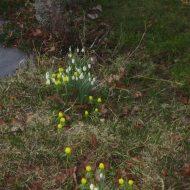 Pavasara ziedi, marts, 2014