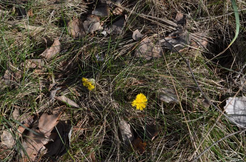 Pavasara ziedi, foto Sandra Veinberga