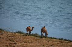 2 kamieļi