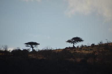 Baobabi