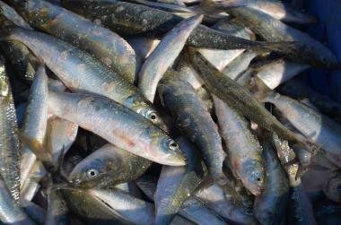 Zivis , Omana