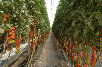 Tomātu plantācija Dakhla 1