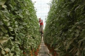 Tomātu plantācija Dakhla 2