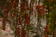Tomātu plantācija Dakhla 6